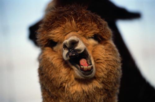 羊驼本是萌宠,为何被网友戏称为草泥马